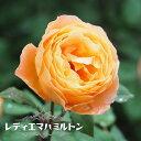 【バラ苗】 レディエマハミルトン (ER) ( イングリッシュローズ ) 6号ポット 大苗 四季咲き 強健