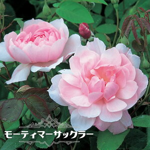 【バラ苗】 モーティマーサックラー 大苗 イングリッシュローズ ER 四季咲き 強健