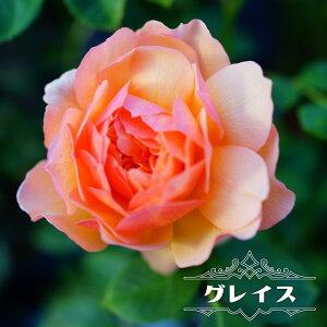 【バラ苗】 グレイス (ER) (大輪 イングリッシュローズ ) 6号ポット 大苗 四季咲き 強健