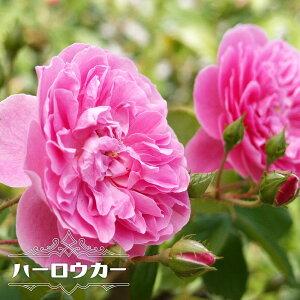 【バラ苗】 ハーロウカー 大苗 イングリッシュローズ ER 四季咲き強健