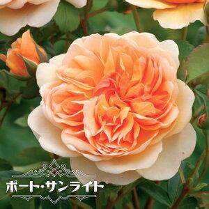 【バラ苗】 ポート サンライト (ER) (イングリッシュローズ ) 6号ポット 大苗 四季咲き 強健