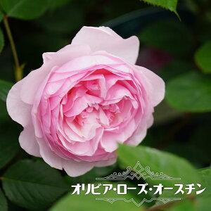 【バラ苗】 オリビア・ローズ・オースチン (ER) (大輪 イングリッシュローズ ) 6号ポット 大苗 四季咲き 強健