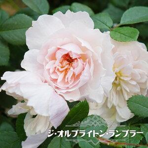 四季咲き半つるバラ 【ジオルブライトンランブラー】 3年生大苗