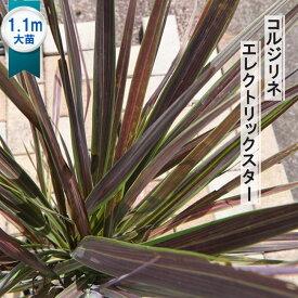 大型コルジリネ(ドラセナ) エレクトリックスター ポット大苗 インテリアプランツ 観葉植物