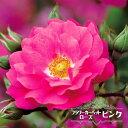 【バラ苗】 フラワーカーペットローズ ピンク ポット苗