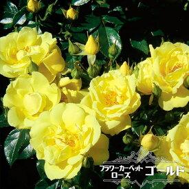 【バラ苗】 フラワーカーペットローズ ゴールド ポット苗
