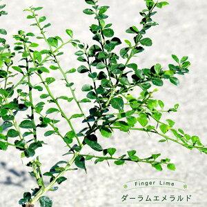 【フィンガーライム 苗木】 「ダーラムエメラルド」 果皮:緑 果肉:緑実 2年生 接ぎ木苗