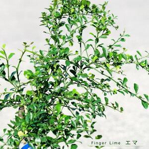 【フィンガーライム 苗木】 「エマ」 果皮:黒 果肉:白実 2年生 接ぎ木苗