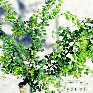 【フィンガーライム 苗木】 「ジャリレッド」 果皮:黒 果肉:ピンク実 2年生 接ぎ木苗