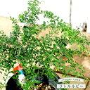 【フィンガーライム 苗木】 果皮:緑 果肉:赤実 「リトルルビー」 (森のキャビア) 1年生 接ぎ木苗