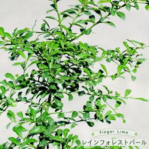 【フィンガーライム 苗木】 「レインフォレストパール」 果皮:赤 果肉:ピンク実 2年生 接ぎ木苗