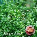 フィンガーライム (森のキャビア) 赤実 6号ポット大苗