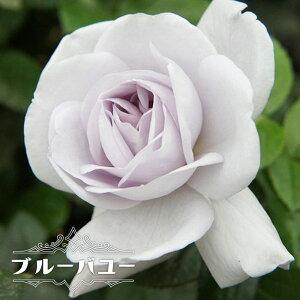 【バラ苗】 ブルーバユー 1年生 新苗 木立バラ FL 四季咲き 青紫色 トゲが少ない バラ 苗 薔薇