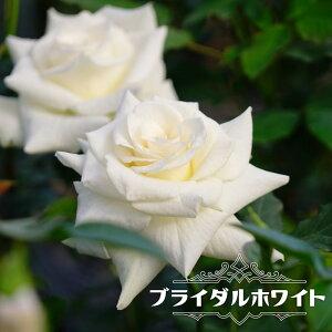 【バラ苗】 ブライダルホワイト 大苗 木立バラ 四季咲き 白色 薔薇 バラ苗木 np