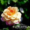 【バラ苗】 ディスタントドラムス 大苗 木立バラ 初心者に超おすすめ 四季咲き オレンジ色 バラ 苗 薔薇 np