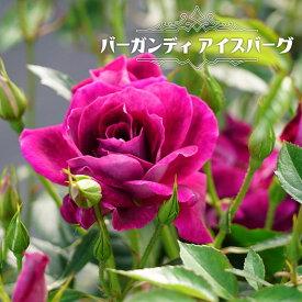 【バラ苗】 バーガンディ アイスバーグ 大苗 木立バラ 四季咲き 赤紫色 初心者に超おすすめ 耐陰性
