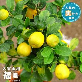 【実付き】 大実キンカン 福寿 2年生 接木 茶鉢苗 苗木 キンカン