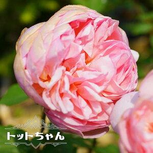 【バラ苗】 トットちゃん (大輪) (河本バラ園) 大苗 6号ポット 四季咲き ピンク 強香