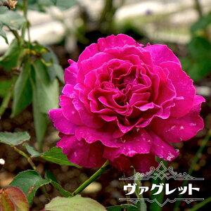 【バラ苗】 ヴァグレット 大苗 木立バラ 【河本バラ園】 四季咲き 強香 紫色 バラ 苗 薔薇