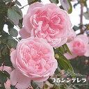 【バラ苗】 つるシンデレラ 大苗 つるバラ 【京成バラ】 四季咲き ピンク 強健 バラ 苗 薔薇