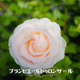 【バラ苗】 ブランピエールドゥロンサール 大苗 つるバラ 【京成バラ】 白色 バラ 苗 薔薇 ダマスク系 【予約販売12月〜翌1月頃入荷予定】