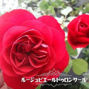 四季咲きつるバラ 【ルージュピエールドゥロンサール】 2年生大苗 【予約販売12〜翌1月頃入荷予定】