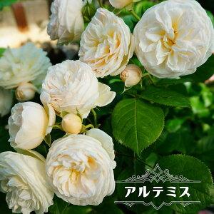 四季咲き半つるバラ 【アルテミス】 3年生大苗