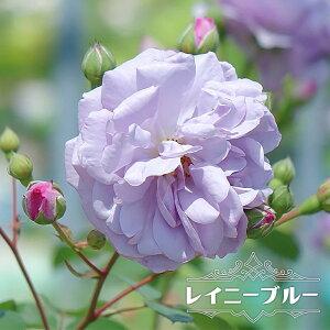 四季咲き半つるバラ 【レイニーブルー】 2年生大苗 6号ポット 【予約販売12〜翌1月頃入荷予定】