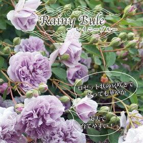 レイニーブルー花の様子