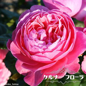 【バラ苗】 ケルナー フローラ 大苗 【京成バラ】 つるバラ 四季咲き トゲが少ない 【予約販売12〜翌1月頃入荷予定】