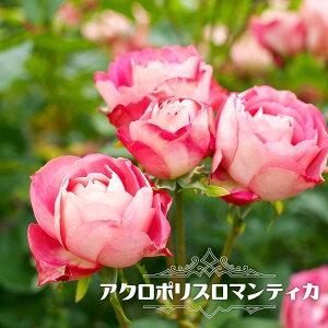 四季咲き半つるバラ 【アクロポリスロマンティカ】 2年生大苗 【予約販売12〜翌1月頃入荷予定】