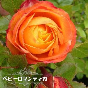 【バラ苗】 ベビーロマンティカ 大苗 木立バラ 【京成バラ】 四季咲き オレンジ色 バラ 苗 薔薇