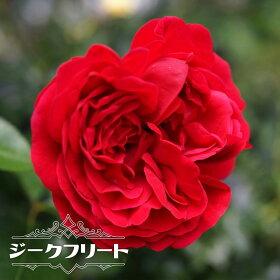 ジークフリート花の様子