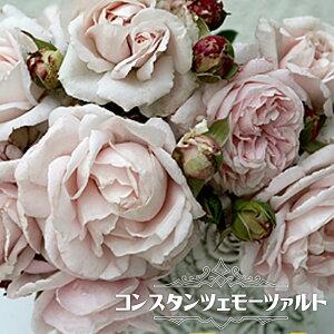 四季咲き 半つるバラ【コンスタンツェモーツァルト】2年生大苗 【予約販売12〜翌1月頃入荷予定】