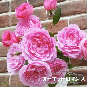 【バラ苗】 オーキッドロマンス 木立バラ 【京成バラ】 四季咲き カップ咲き 濃桃色 薔薇