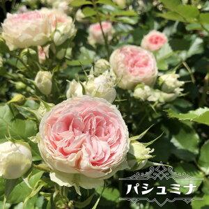 【バラ苗】 パシュミナ フロリバンダローズ 【京成バラ】 四季咲き カップ咲〜ロゼット咲 白花 薔薇