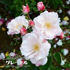 【バラ苗】 グレーテル大苗 木立ち FL 【京成バラ】 四季咲き 淡いサーモンピンク 微香