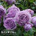 四季咲きバラ苗 【カインダブルー】 2年生大苗 【予約販売12〜翌1月頃入荷予定】