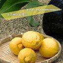 レモンの木 【リスボンレモン】 1年生 接ぎ木 苗木