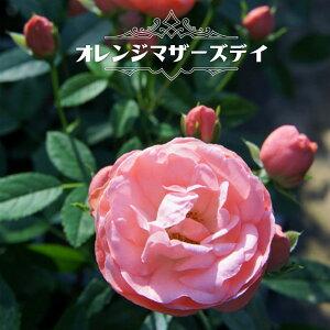 【バラ苗】 オレンジマザーズデイ (ミニバラ) 国産苗 1年生 新苗 四季咲き オレンジ色 バラ 苗 薔薇