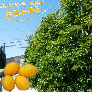 パッションフルーツの仲間 ミズレモン 実生 ポット 苗 果樹苗木 果樹苗 トケイソウ 緑のカーテン