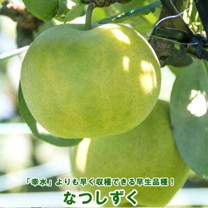 【なつしずく】 梨 (なし) 2年生接木苗 ロングスリット 鉢植え 【予約販売9〜10月頃入荷予定】