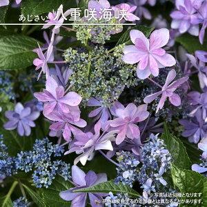 ヤマアジサイ 【八重咲海峡 (やえざきかいきょう)】 ポット苗