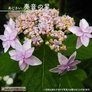 ヤマアジサイ 【泰音の星 (かなとのほし)】 ポット苗