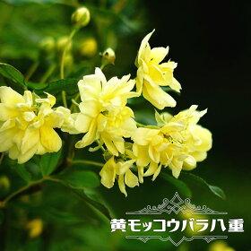 黄八重モッコウバラ