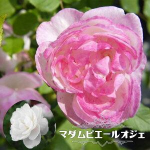 【バラ苗】 マダムピエールオジェ 大苗 オールドローズ old 白色 薔薇 バラ苗木 np