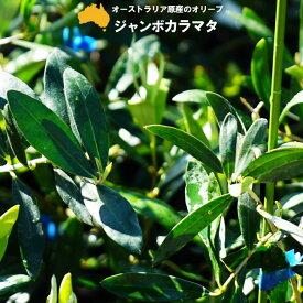 【ジャンボカラマタ】 オリーブの木 3年生接木大苗