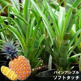 ■沖縄産■パインアップル 【ソフトタッチ】 6号ポット苗