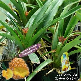 ■沖縄産■ パイナップル 【スナックパイン】 6号ポット苗