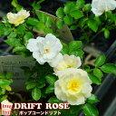 【バラ苗】 ドリフトローズ ポップコーンドリフト 4号ポット苗 修景バラ 四季咲き グランドカバー